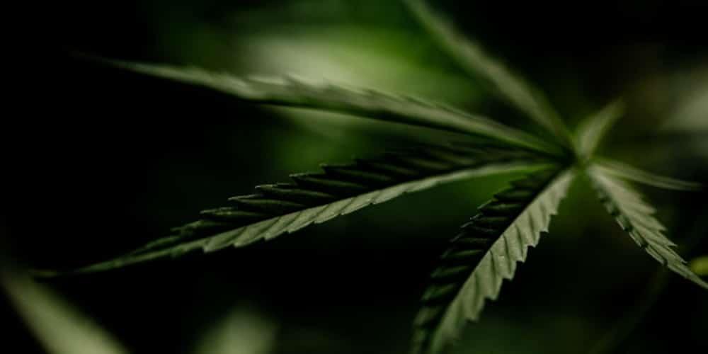Cannabis Amnésia