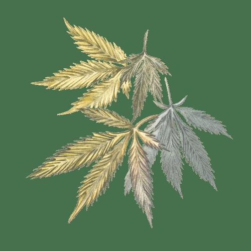 fleur de cannabis feuille de tête de chanvre cannabis