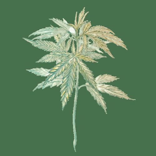pied de fleur de cbd cannabis