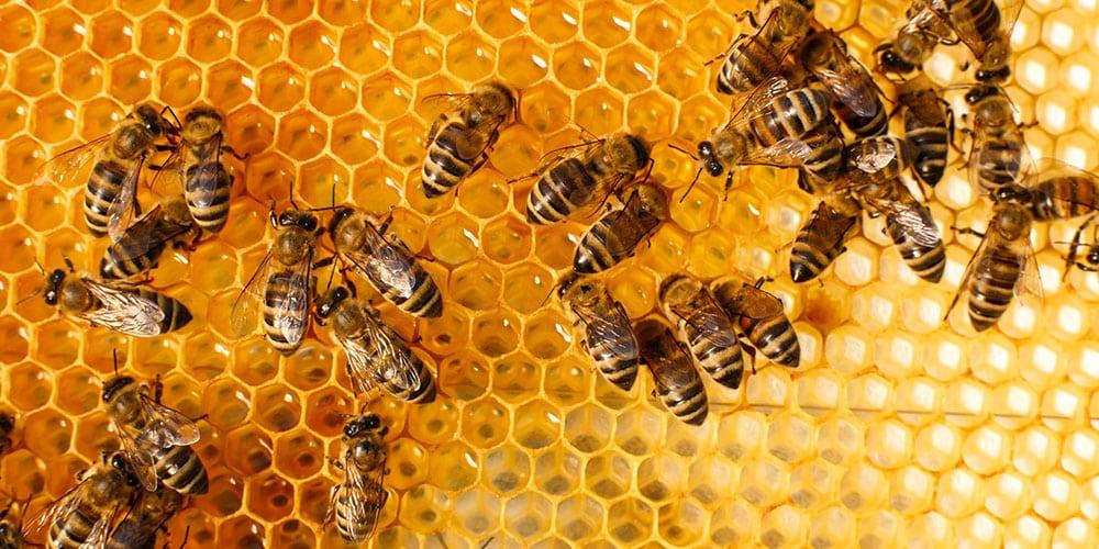 cannabis abeilles