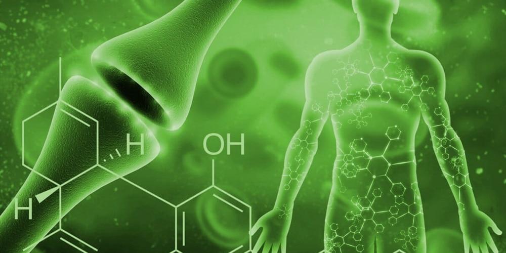 cbd système endocannabinoïde